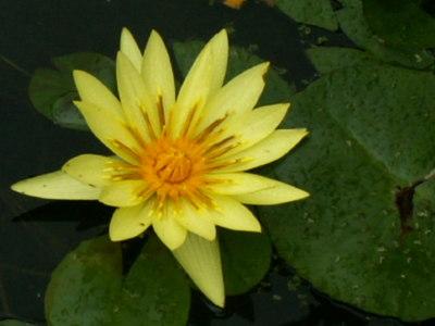 Fleur_pascale_1