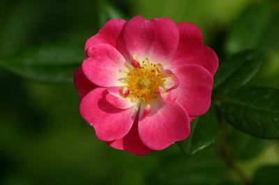 Photo_grande_fleur_rose